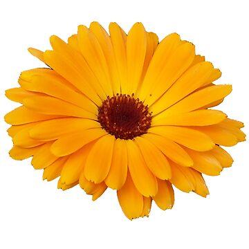 Orange Flower by hasseroberto