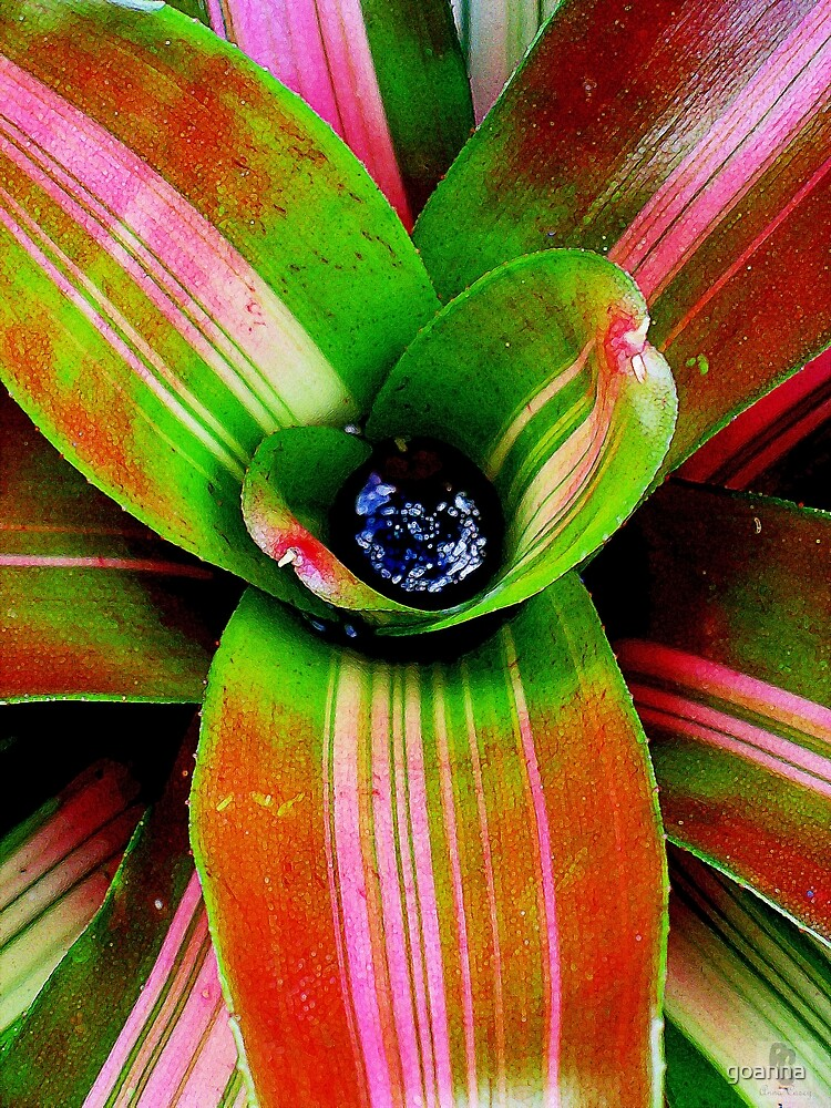 Bromeliad heart by goanna