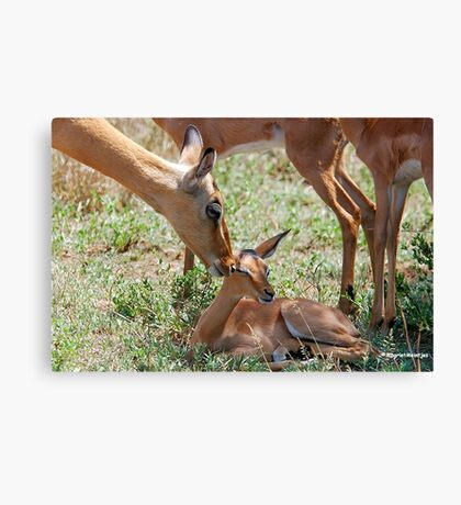 LOVE YOU BABY -  IMPALA  - Aepyceros melampus petersi Canvas Print