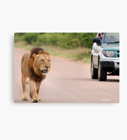 THE ULTIMATE EXPERIENCE IN KRUGER - THE LION - Panthera leo  Canvas Print