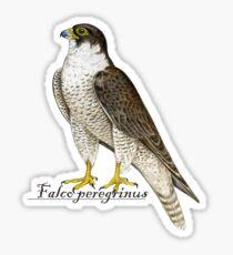 Peregrine Falcon (Falco peregrinus) Sticker