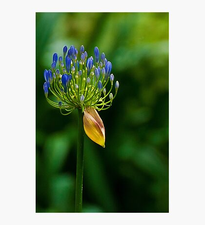101229 Blue Mountains Agapantha Photographic Print