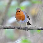 """ Season's Red Breast "" by Richard Couchman"