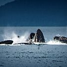 Pod of Humpback Whales by Yukondick