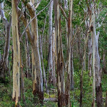 Mt Kaputar Trees by ElizabethMcPhee