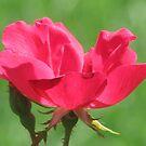 Red Rose by brendalynn52
