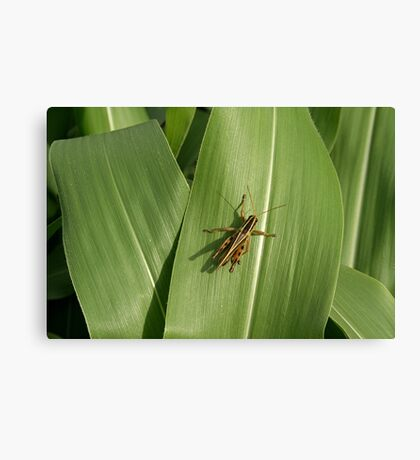 Grasshopper on corn leaf Canvas Print