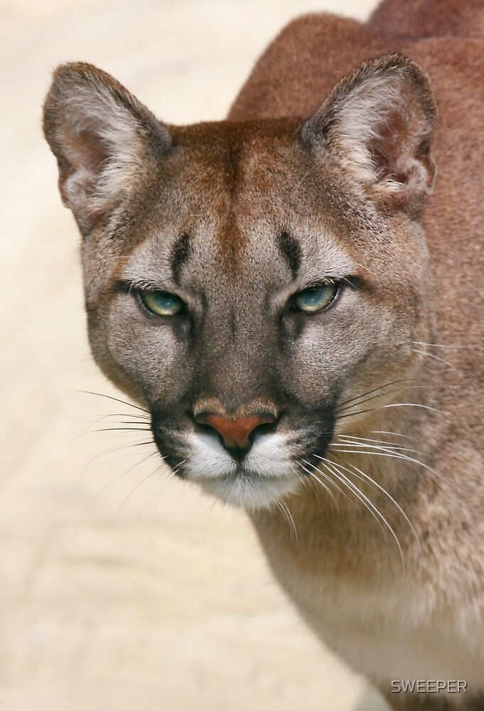 Puma's stare by SWEEPER