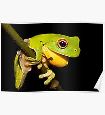Red-Eyed Tree Frog - Litoria chloris Poster