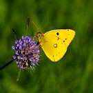 Clouded Yellow butterfly by SWEEPER