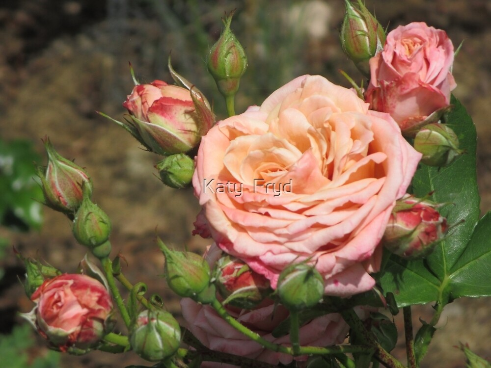 Pink Rose and Rosebuds by Katy Fryd
