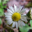 Close-up Daisy by Richard Winskill
