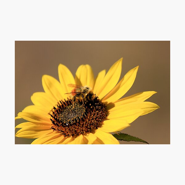 Bee and Sunflower Photographic Print