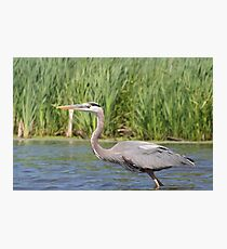Great Blue Heron (Paddling' Pictures) Photographic Print