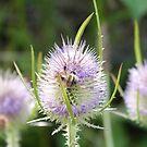 Bumblebee and teesle  by Vanella Mead