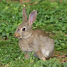 Young Rabbit.......Great Barrier Island......! by Roy  Massicks