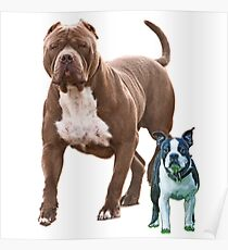 Pit bull Boston terrier Poster