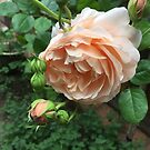 rose in rain by jayview