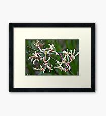 Cluster of Kangaroo Paws Framed Print