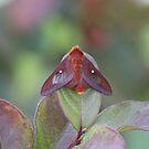 Orange-tipped Oakworm Moth by Bob Hardy