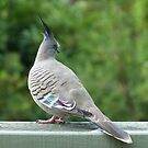 Crested Pigeon 2 by Trish Meyer