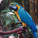 Brilliant Blue & Gold Macaw by Terry Krysak