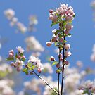 blossom on blue by natalie angus