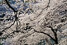 Cherry Blossoms in Tokyo by Frank Kletschkus