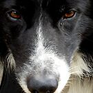 Collie by Perggals© - Stacey Turner