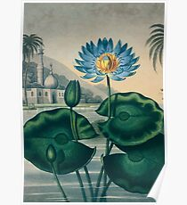 The Blue Egyptian Water Lily Poster