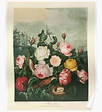 Roses, a plate from The Temple of Flora (1805) Poster