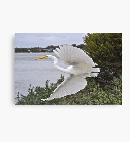 Eastern Great Egret Canvas Print
