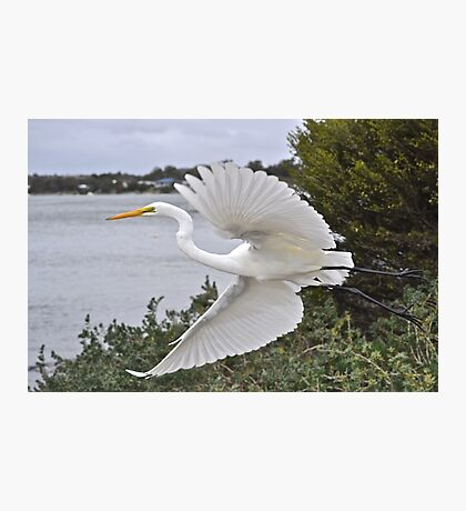 Eastern Great Egret Photographic Print