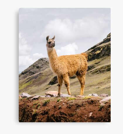 A Llama in the Andes outside of Cusco, Peru Canvas Print