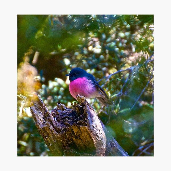 Pink Robin Photographic Print