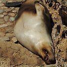 Australian Sea-Lion by ScenerybyDesign