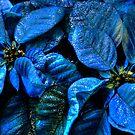 Christmas Blues _ Poinsettias by Poete100