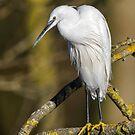 Little Egret by Alan Forder
