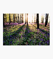 Bluebell Shadows Photographic Print