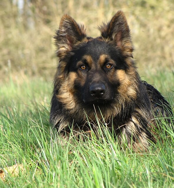German Shepherd Dog by JUDI2008