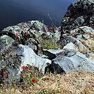 Poppies at Meadowbank by Asoka
