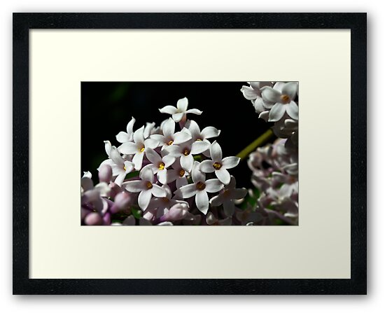 Pretty Lilac by Creative Captures