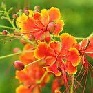 Fire tree flower by ANNABEL   S. ALENTON
