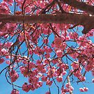 Sussex Cherry Blossom by lolohannah