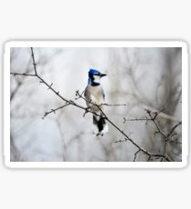 Blue Jay in A tree Sticker