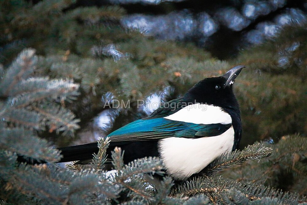 Magpie by Amber D Hathaway Photography