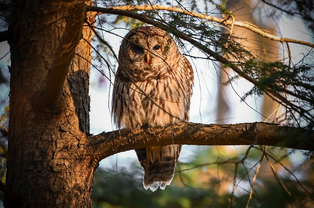 Barred Owl in a tree by justinrusso