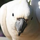 Sulphur Crested Cockatoo by jansimpressions