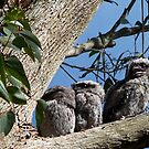 Tawny Frogmouth and babies by jansimpressions