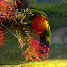 Lorikeet Hanging Around by jansimpressions